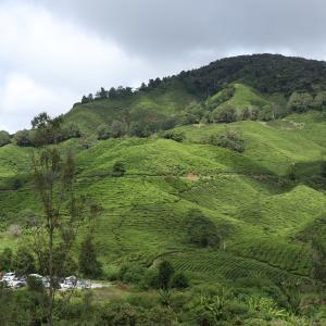 マレーシア旅行記⑤ キャメロンハイランドの紅茶ファームにやってきた。