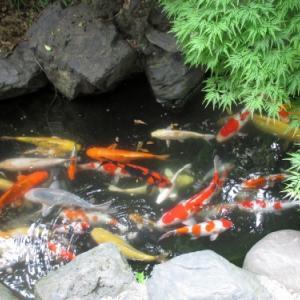 今日の鯉さん達