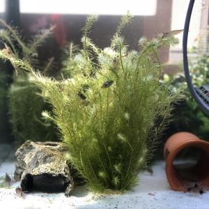淡水フグの種類|珍しい淡水フグ|新年の挨拶