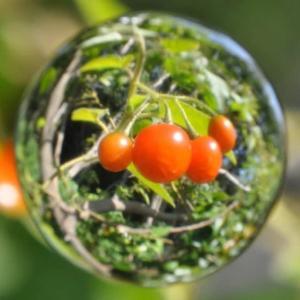 鵯上戸の果実