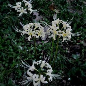 白花の彼岸花が咲いていた。