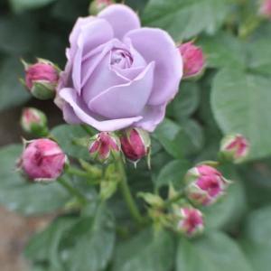 万博公園のバラ
