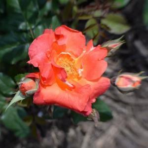 若園バラ園のバラ
