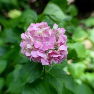 万博公園の紫陽花