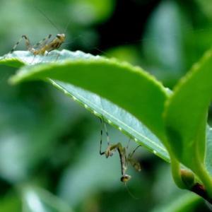 万博公園の蟷螂の子供