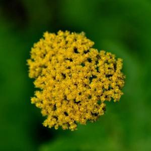 服部緑地都市緑化植物園の黄花鋸草と西洋鋸草