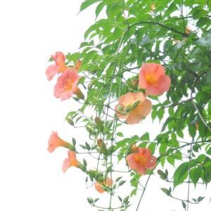 茨木市内の凌霄花