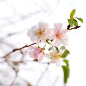立命館茨木の十月桜