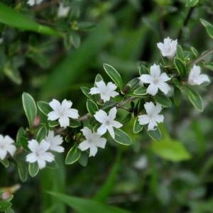 万博公園の白丁花