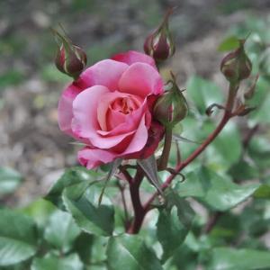 若園バラ園のバラ(せん)