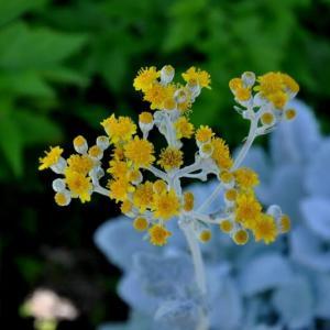 立命館茨木の白妙菊