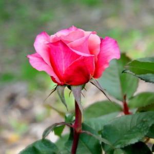 若園バラ園のバラ(雅)