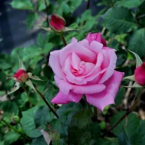 若園バラ園のバラ(桃香)