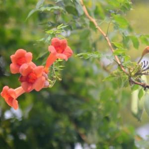 服部緑地の凌霄花の花と果実
