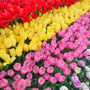 あしかがフラワーパーク(※春の状況)|見頃のチューリップが綺麗:栃木県足利市