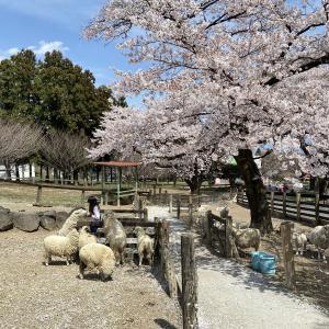伊香保グリーン牧場|春は桜の名所となっていた!見頃や雰囲気:群馬県渋川市