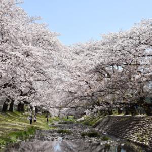 桜に降る雪