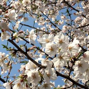 桜が満開(*≧∀≦*)