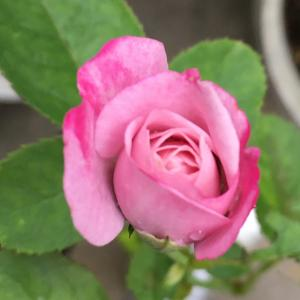 夏の薔薇とアクセサリー