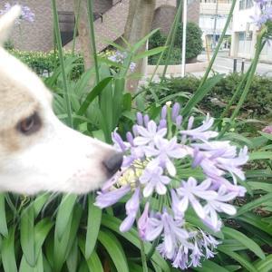 アガパンサスの花言葉は「恋の訪れ」ラブレター