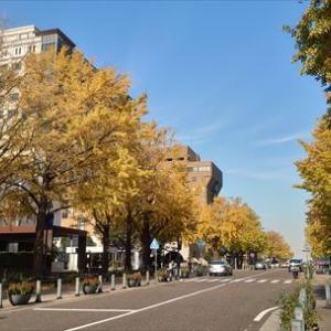 日本大通りの銀杏並木も紅葉