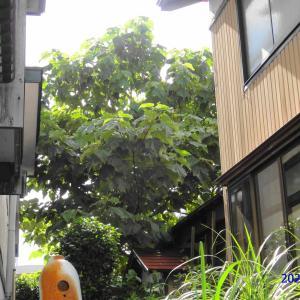 桐の木の伐採作業