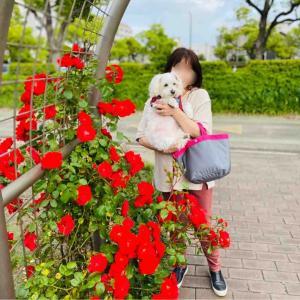 知多半島 元浜公園、大池公園 薔薇🌹