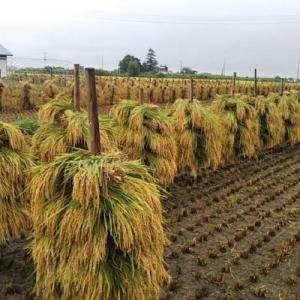 有機農業の里・高畠で昔ながらの稲刈りをお手伝い~初めての杭掛け