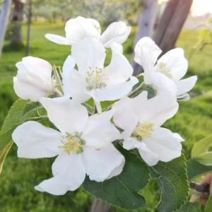 可憐な花に癒されながら、りんご「ふじ」の摘花作業!