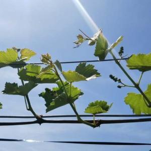 葡萄の新梢管理~棚仕立て&垣根仕立て、それぞれの副芽かき