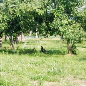 キジのいるぶどう園~畑に日本の国鳥が毎日やって来る!