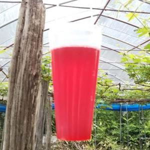 種なしブドウはこうしてできる!ジベレリン処理の基本と体験記