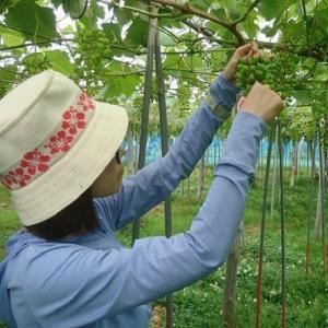 無限かな?大粒葡萄の「摘粒」作業~そのコツと一年目の感想~