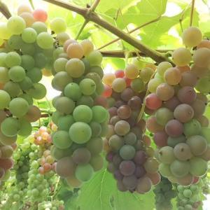「青デラ」初出荷!その基準と初めての醸造用ブドウ収穫体験