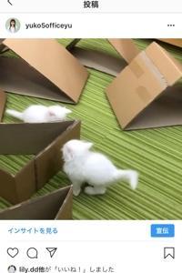 白猫サイベリアンの仔猫 ケテルとビナー