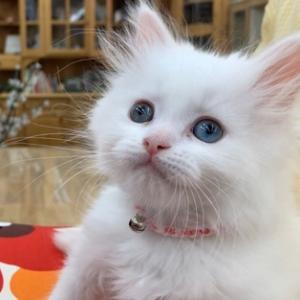 幸せを呼ぶ白猫さん