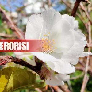 クメノサクラが首里石嶺町で開花しています。