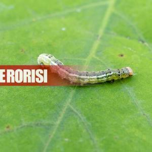 松川公園のデイゴ並木に害虫大量発生。