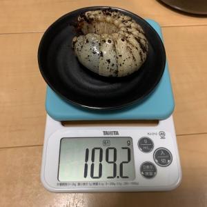 レックスゾウカブトの幼虫飼育(マット交換2)