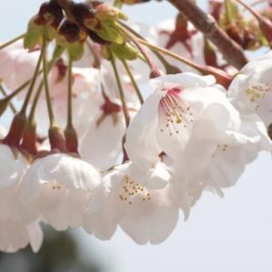 【一眼写真】桜の写真大量。katsuの春カメラフォルダ開放。