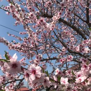 桜の名所❤︎成瀬の恩田川❤︎