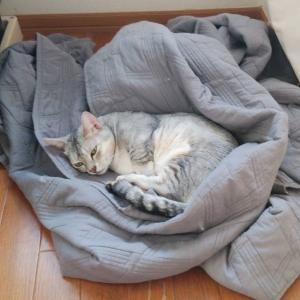 くるまって寝る猫