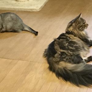 猫の喧嘩とテレビ会議