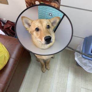 愛犬うにくん、生後7ヶ月目に入ったので去勢しました!香港の動物病院での手術の手順