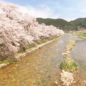 岡山県真庭市の県下最後の桜を3件はしごする旅。