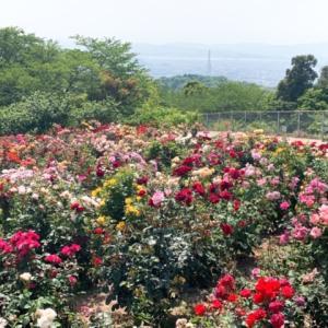 【倉敷市】種松山西園地のバラが見頃!桜だけじゃないアジサイももうすぐ!