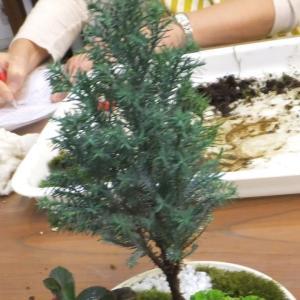【寄植盆栽】コニファーの鉢でも謎草が繁殖中です。