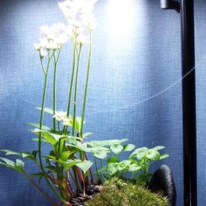 【寄植盆栽】丹頂草が満開になって13日目の様子