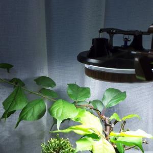 【盆栽】室内で巨大化した野梅の盆栽の剪定