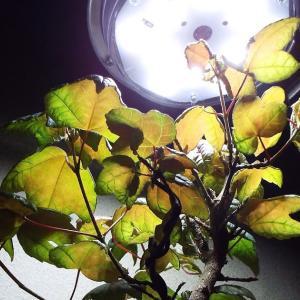 【盆栽】カエデの盆栽 室内での生育状況